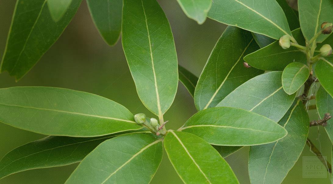 Leaves-of-Bay-Laurel