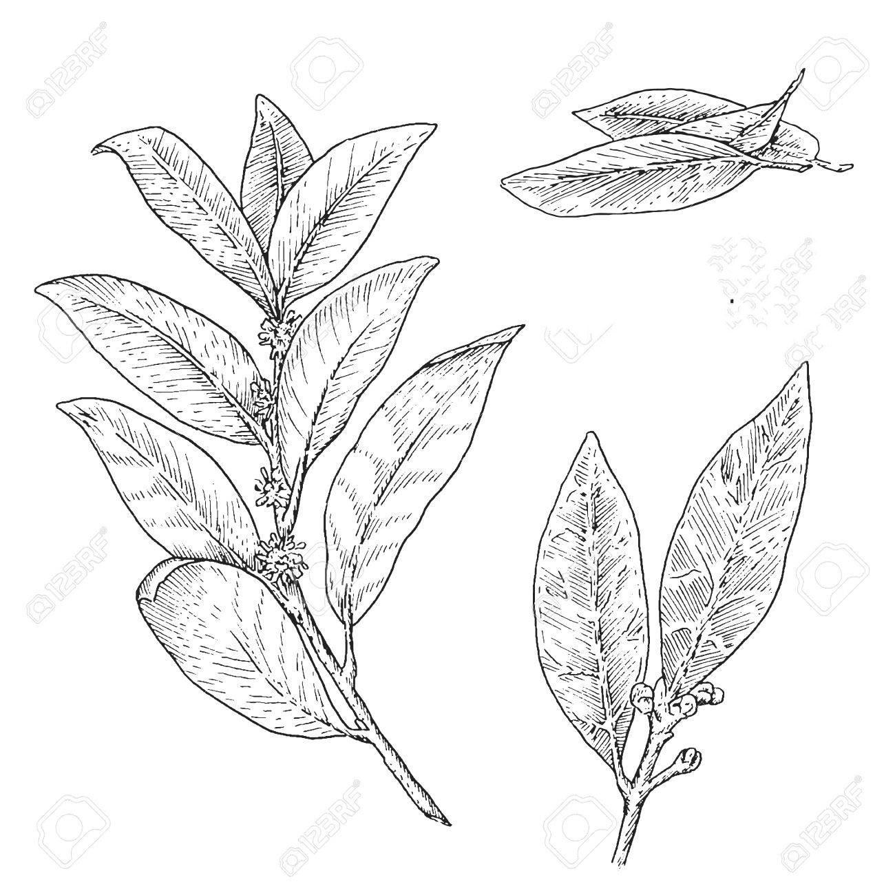 Sketch-of-Bay-Laurel