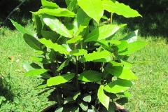 Bay-Laurel-plant-grown-on-pot