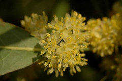 Closer-view-of-flower-of-Bay-Laurel