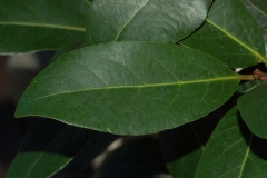 Closer-view-of-leaves-of-Bay-Laurel