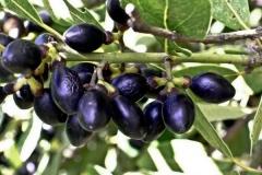 Mature-fruits-of-Bay-Laurel