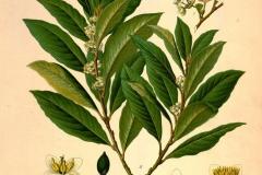 Plant-Illustration-of-Bay-Laurel