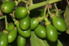 Unripe-Bay-Laurel-fruits