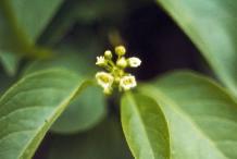 Bayberry-Flower