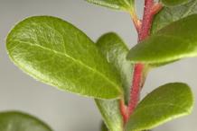 Bearberry-Leaf