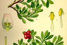 Bearberry-Plant-Illustrations