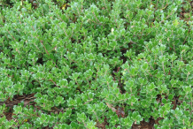 Bearberry-bushes