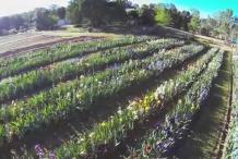 Bearded-Iris-farm