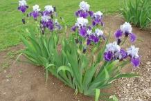 Bearded-Iris-plant