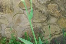 Flower-buds-of-Bearded-Iris