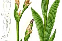 Illustration-of-Bearded-Iris