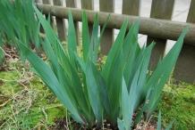 Leaves-of-Bearded-Iris