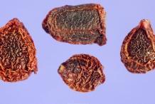 Seeds-of-Bearded-Iris
