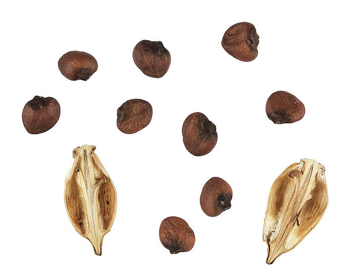 Seeds-of-Bears-Breeches
