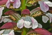 Close-up-view-of-flower-of-Bears-Breeches