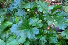 Leaves-of-Bears-Breeches