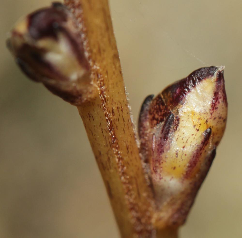 Beech-drops-flower-buds