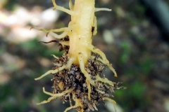 Beech-drops-roots