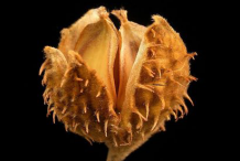 Dried-Beech-nut