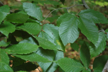 Leaves-of-Beechnut-plant