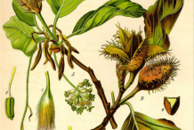 Plant-Illustration-of-Beech-nut-plant