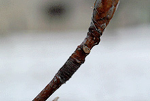 Twig-of-Beechnut-Plant