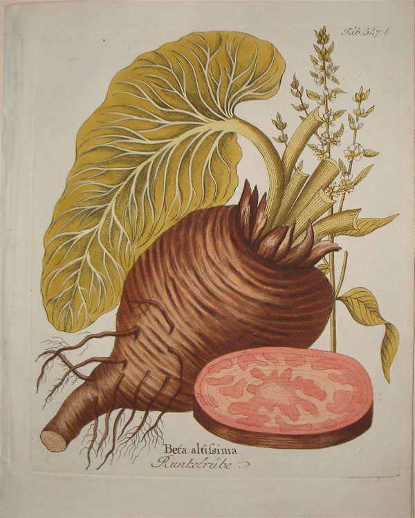 Plant-illustration-of-Beetroot