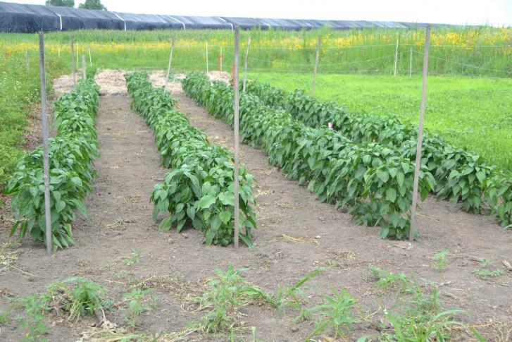 Bell-pepper-farm
