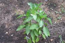Bell-pepper-plant