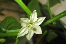 Bell-pepper-flowers
