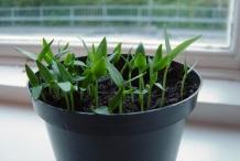 Bell-pepper-seedlings