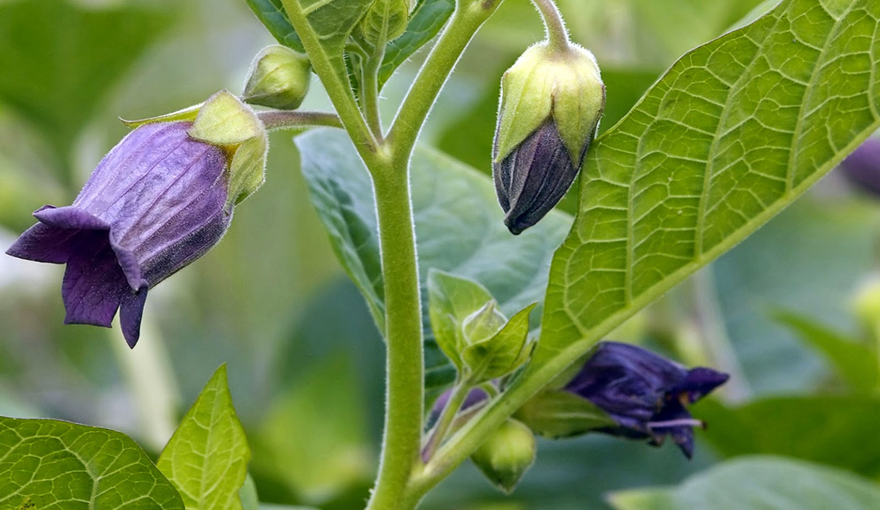Belladonna-bud-and-small-opened-flower