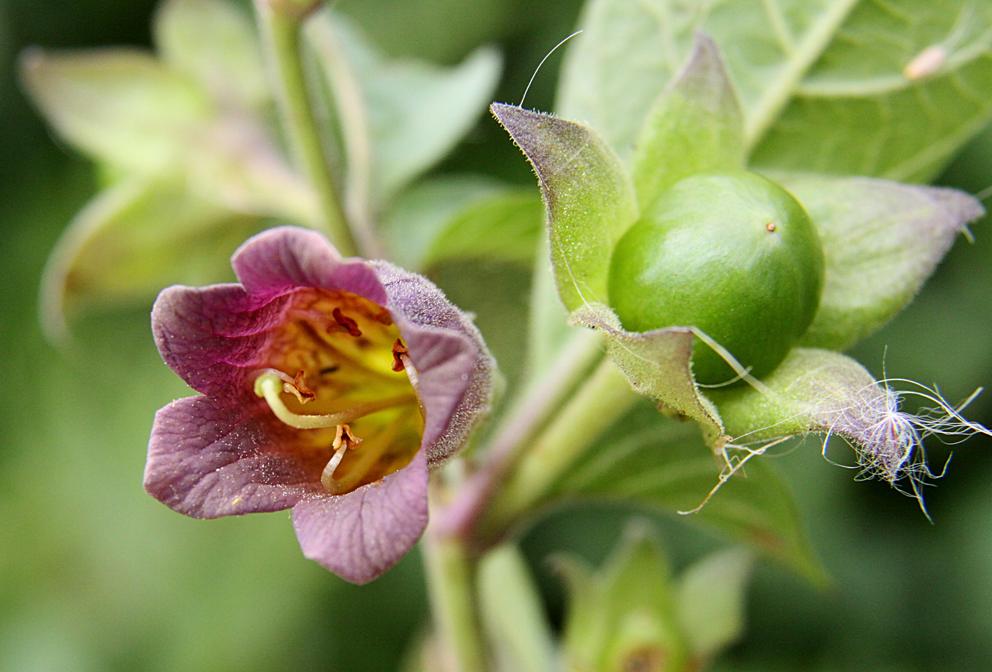 Belladonna-flower-and-unripe-fruit-on-the-plant