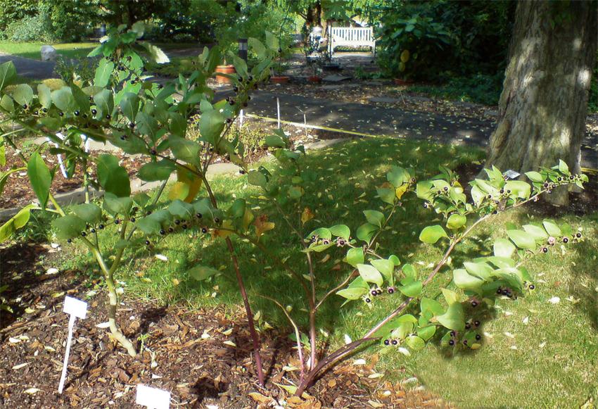 Belladonna-plant-growing-on-the-yard