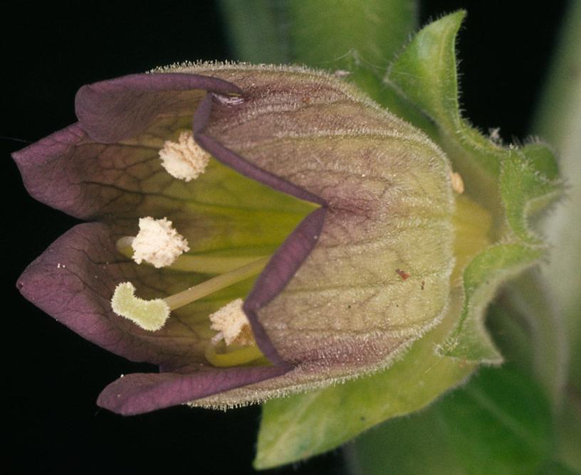 Closer-view-of-Belladonna-flower
