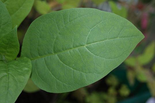 Leaf-of-Belladonna-plant