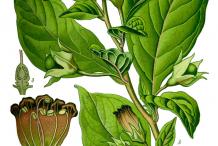 Belladonna-plant-Illustration