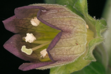 Closer-view-of-Belladonna-flower