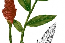 Plant-Illustration-of-Bengal-Ginger