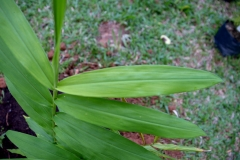 Leaves-of-Bengal-Ginger