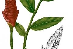 Plant-Illustration-of-Bengal-Ginger