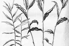 Sketch-of-Bengal-Ginger