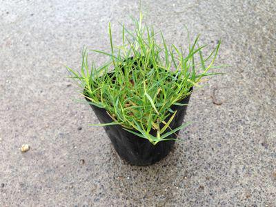 Bermuda-Grass-on-the-pot