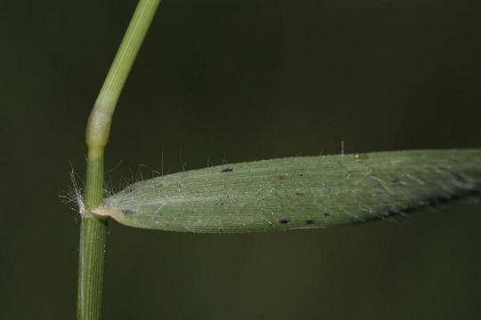 Leaf-of Bermuda-Grass