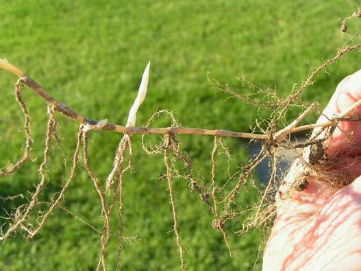 Rhizome-of-Bermuda-Grass