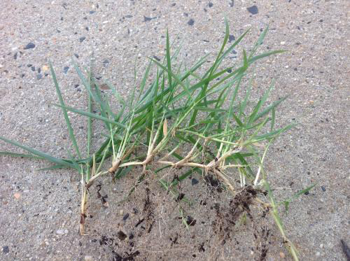 Roots-of-Bermuda-Grass