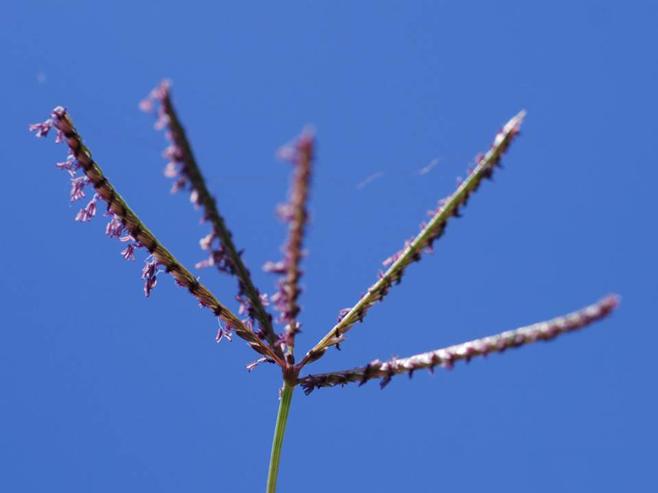 Seedhead-off-Bermuda-Grass