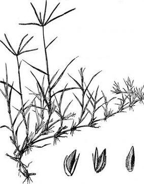 Sketch-of-Bermuda-Grass