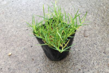 Bermuda-Grass-on-the-pot